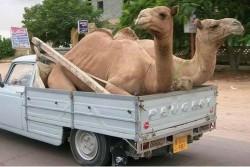 Har du været i Nordafrika, har du også set en overlæsset Peugeot pick-up. Her med to ørkenskibe, som sikrer hjemtransport, hvis dæk eller fjedre giver op på rejsen.